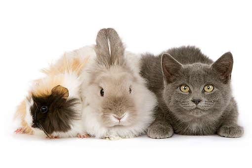 RAB 02 JE0005 01 © Kimball Stock Gray Shorthair Kitten Lionhead Dwarf Rabbit And Rosette Guinea Pig Laying On White Seamless