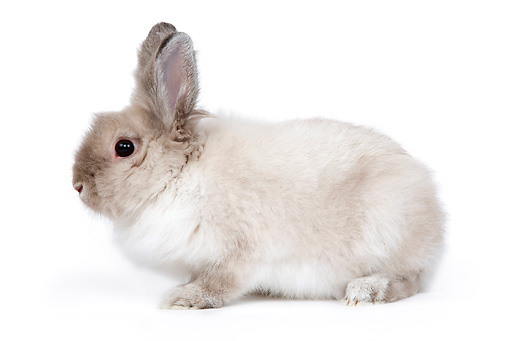 RAB 02 JE0006 01 © Kimball Stock Lionhead Dwarf Rabbit Sitting On White Seamless Profile