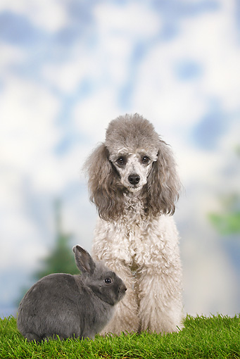 RAB 02 PE0001 01 © Kimball Stock Blue Dwarf Rabbit And Miniature Poodle Sitting On Grass