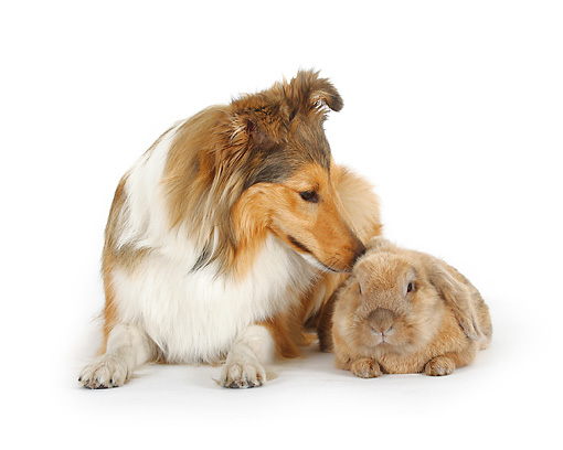 RAB 02 PE0002 01 © Kimball Stock Shetland Sheepdog And Lop Eared Rabbit Laying On White Seamless