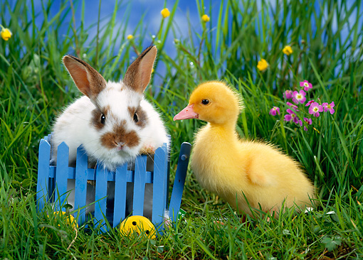 RAB 02 KH0001 01 © Kimball Stock Rabbit And Duckling Standing In Grass With Blue Cart