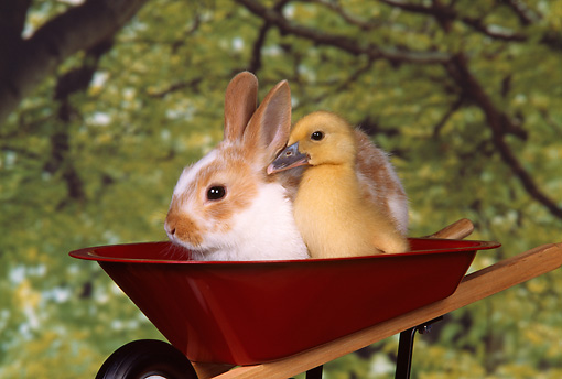 RAB 02 RK0004 01 © Kimball Stock Brown And White Rabbit And Chick In Wheelbarrow Trees Background