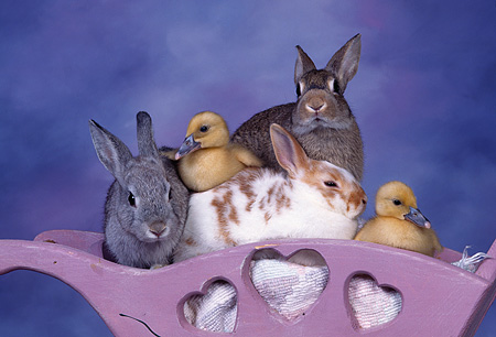 RAB 02 RK0007 03 © Kimball Stock Three Rabbits And Two Ducklings In Planter Purple Mottled Background