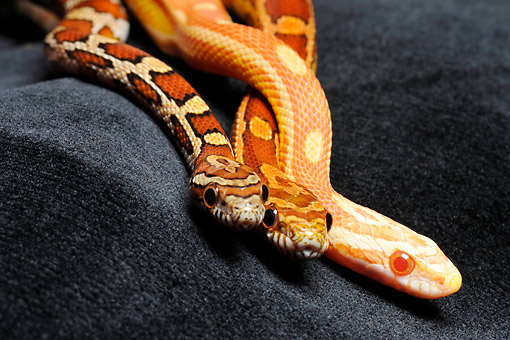 REP 01 AC0005 01 © Kimball Stock Corn Snakes (Also Called Red Rat Snake) Slithering In Studio