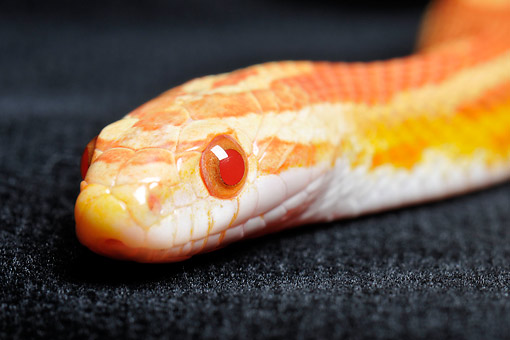 REP 01 AC0006 01 © Kimball Stock Corn Snake (Also Called Red Rat Snake) Slithering In Studio