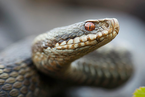 REP 01 AC0008 01 © Kimball Stock Common Adder (Also Called Common Viper) Close Up In Lower Saxony, Germany