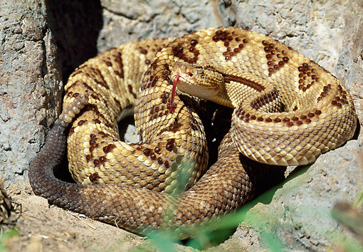 REP 01 LS0002 01 © Kimball Stock Central American Rattlesnake Coiled On Rocks