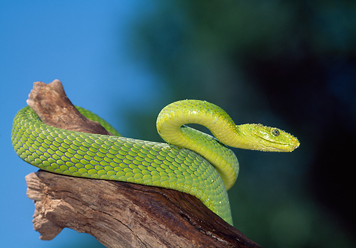REP 01 LS0003 01 © Kimball Stock Eastern Green Mamba Coiled On Log South Africa