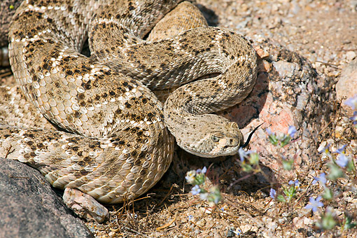 REP 01 LS0006 01 © Kimball Stock Western Diamondback Rattlesnake In Sonoran Desert, Arizona