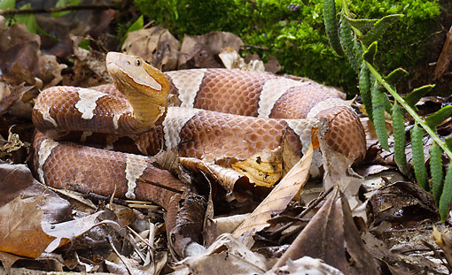 REP 01 MC0007 01 © Kimball Stock Broad-Banded Copperhead Coiled On Leaves