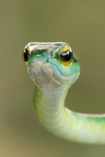 REP 01 MC0010 01 © Kimball Stock Close-Up Of Satiny Parrot Snake In Arenal Volcano, Costa Rica