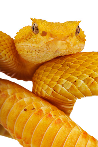 REP 01 MH0004 01 © Kimball Stock Close-Up Of Eyelash Viper Coiled On White Seamless