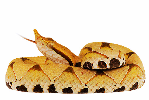 REP 01 MH0006 01 © Kimball Stock Sharp-Nosed Viper Coiled On White Seamless