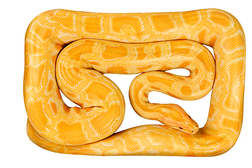 REP 01 MH0007 01 © Kimball Stock Albino Burmese Python Coiled On White Seamless