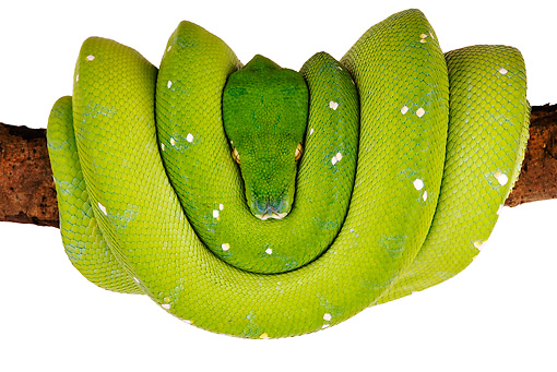 REP 01 MH0008 01 © Kimball Stock Green Tree Python Coiled On Branch On White Seamless