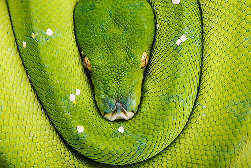 REP 01 MH0009 01 © Kimball Stock Close-Up Of Green Tree Python Coiled