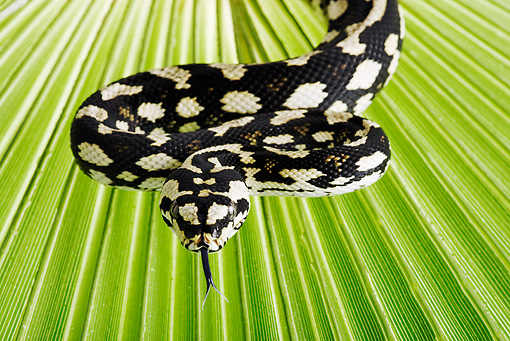 REP 01 MH0010 01 © Kimball Stock Close-Up Of Jungle Carpet Python Coiled On Palm Frond