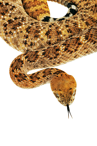 REP 01 MH0011 01 © Kimball Stock Close-Up Of Western Diamondback Rattlesnake Coiled On White Seamless