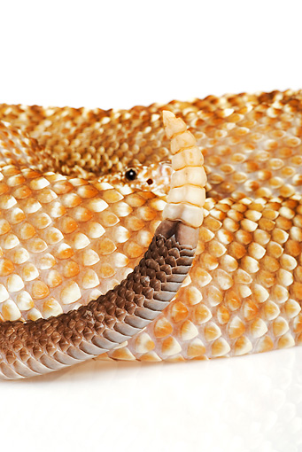 REP 01 MH0012 01 © Kimball Stock Close-Up Of Uracoan Rattlesnake Coiled On White Seamless