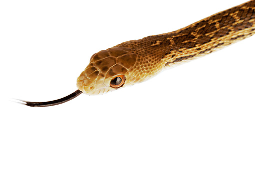 REP 01 MH0017 01 © Kimball Stock Head Shot Of San Diego Gopher Snake On White Seamless