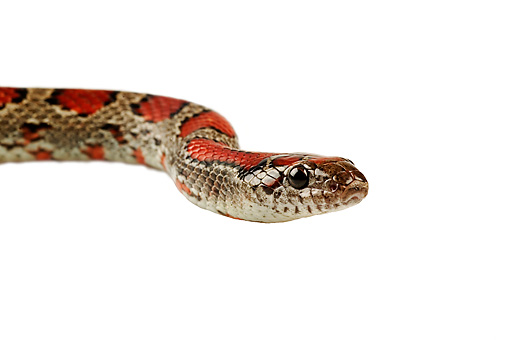 REP 01 MH0018 01 © Kimball Stock Head Shot Of Mexican King Snake On White Seamless