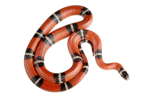 REP 01 MH0021 01 © Kimball Stock Sinaloan Milk Snake Coiled On White Seamless