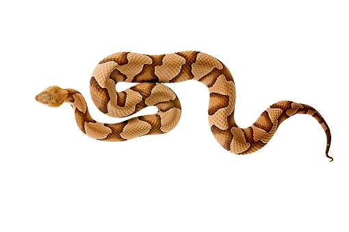 REP 01 MH0022 01 © Kimball Stock Copperhead Laying On White Seamless