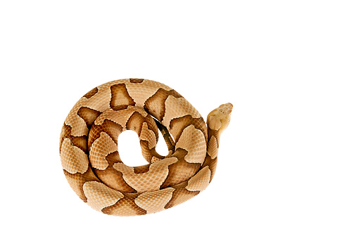 REP 01 MH0023 01 © Kimball Stock Copperhead Coiled On White Seamless