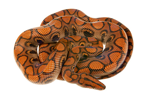 REP 01 MH0027 01 © Kimball Stock Rainbow Boa Coiled On White Seamless