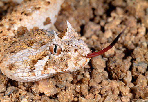 REP 01 MH0030 01 © Kimball Stock Head Shot Of Horned Puff Adder On Rocks Hissing