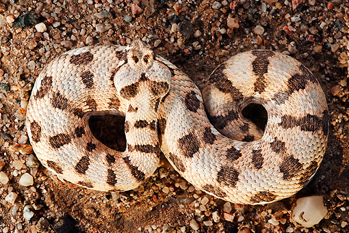 REP 01 MH0035 01 © Kimball Stock Many-Horned Adder Laying On Sand Namibia