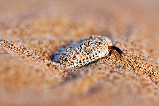 REP 01 MH0039 01 © Kimball Stock Head Shot Of Sidewinder Adder Buried In Sand Namib Desert