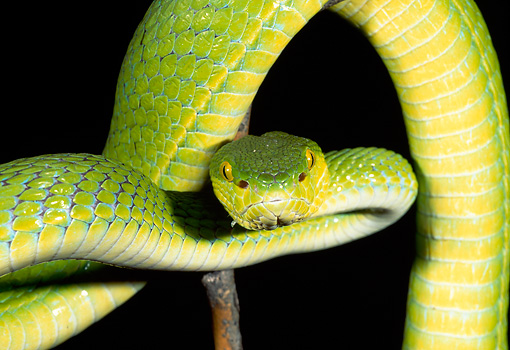 REP 01 MH0043 01 © Kimball Stock Close-Up Of Pitviper Slithering In Dark Indonesia