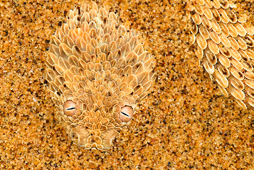 REP 01 MH0045 01 © Kimball Stock Sidewinder Adder Hiding Under Sand To Catch Prey Namib Desert