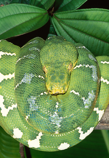 REP 01 MH0046 01 © Kimball Stock Portrait Of Emerald Tree Boa Coiled On Leaves