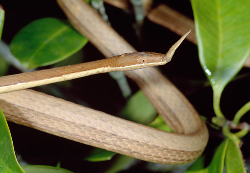 REP 01 MH0048 01 © Kimball Stock Close-Up Of Spear-Nosed Snake Camouflaged To Resemble Tree Branch Madagascar