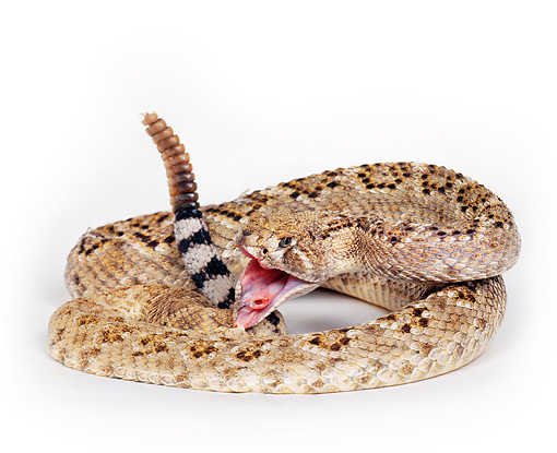 REP 01 RK0002 02 © Kimball Stock Western Diamondback Rattlesnake (Crotalus Atrox) Curled With Mouth Open On White Seamless Background