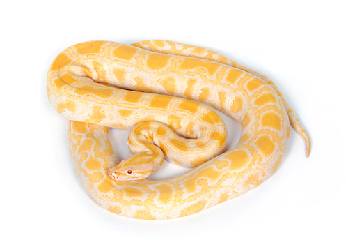 REP 01 RK0027 18 © Kimball Stock Albino Burmese Python On White Seamless