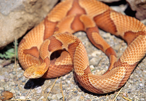 REP 01 RK0033 08 © Kimball Stock Copperhead Snake (Agkistrodon Contortrix) Curled On Dirt Near Rocks