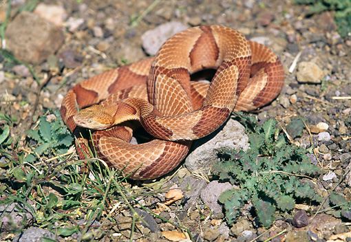 REP 01 RK0034 02 © Kimball Stock Copperhead Snake (Agkistrodon Contortrix) Curled Up On Dirt