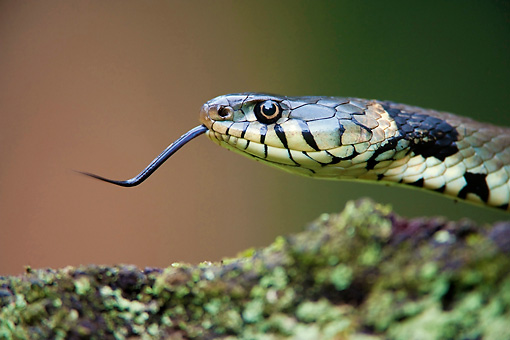 REP 01 WF0004 01 © Kimball Stock Head Shot Of Grass Snake Darting Tongue Out