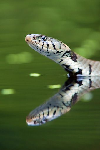 REP 01 WF0005 01 © Kimball Stock Head Shot Of Grass Snake Swimming In Water