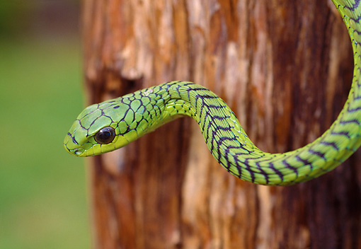 REP 01 WF0006 01 © Kimball Stock Close-Up Of Boomslang Snake Hanging From Tree