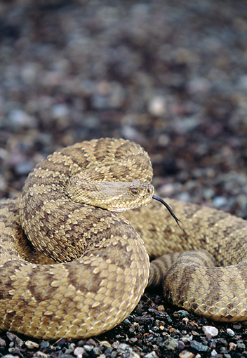 REP 01 DS0001 01 © Kimball Stock Prairie (Western) Rattlesnake Coiled On Gravel
