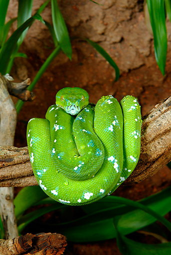 REP 01 KH0001 01 © Kimball Stock Green Tree Python Coiled On Branch
