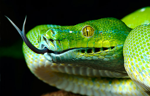 REP 01 KH0003 01 © Kimball Stock Head Shot Of Green Tree Python Sticking Out Tongue