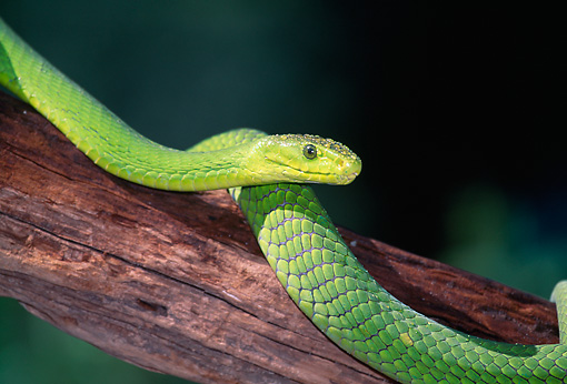 REP 01 LS0001 01 © Kimball Stock East African Green Mamba Laying On Branch