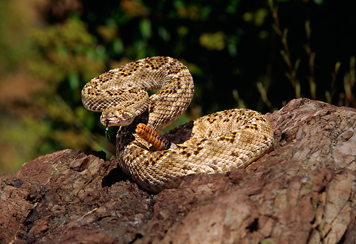 REP 01 RK0015 11 © Kimball Stock Western Diamondback Rattlesnake Coiled On Rock