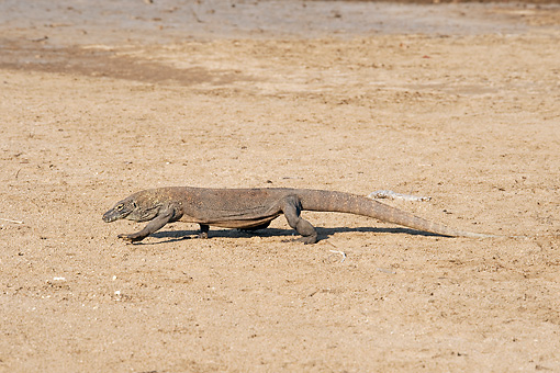 REP 02 JM0001 01 © Kimball Stock Komodo Dragon Crawling Across Sand Indonesia
