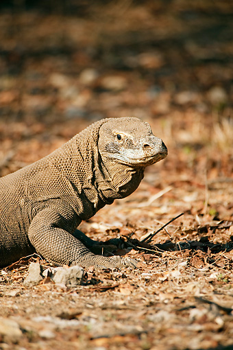 REP 02 JM0002 01 © Kimball Stock Portrait Of Komodo Dragon Indonesia